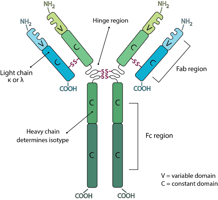 The Hinge Region Of An Antibody Helps It To Bind With